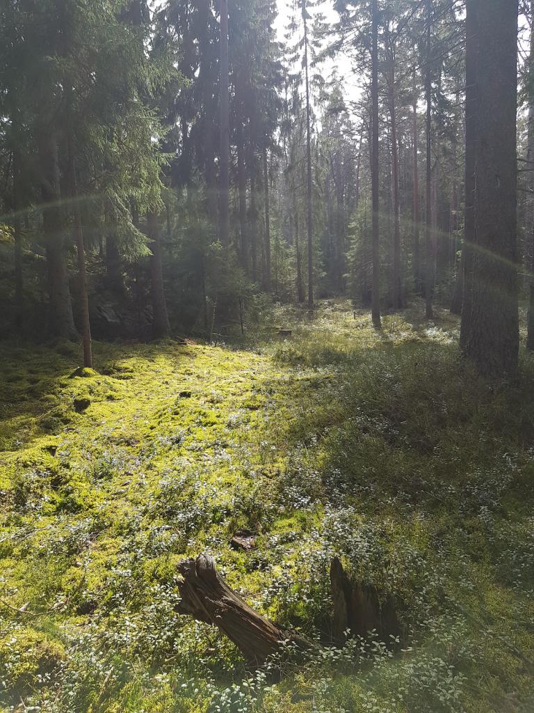 LapCI ry:n 2020 hallituslaisen Anrin ottamassa kuvassa aurinko paistaa metsän halki