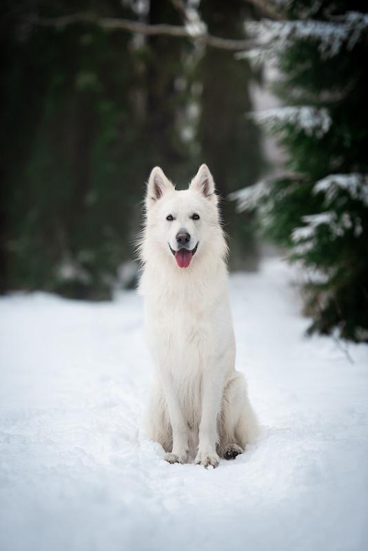 Kuvassa valkoinen kuulokoira Vilho-koira poseeraa komeasti suoraan kameralle kieli pitkällään istuen lumihangessa, taustalla kuusimetsää.