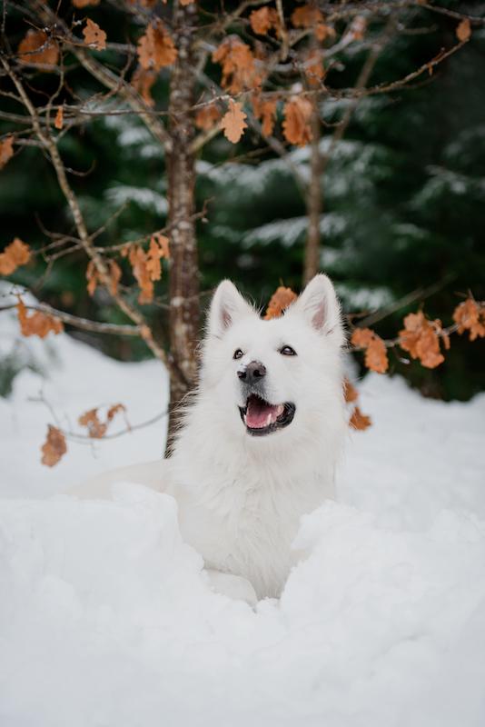 Kuvassa Vilho-koira on asettunut lumihankeen poseeraamaan iloisena katse ylöspäin. Taustalla kuusimetsää ja syksyisiä tammenlehtiä.